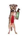 Dog Waiter With Wine. A cute scruffy Terrier mixed breed dog dressed up as a waiter with a black bow tie presenting a bottle of red wine Stock Images