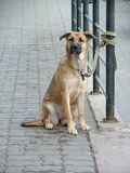 Dog waiting. For his master Royalty Free Stock Photos