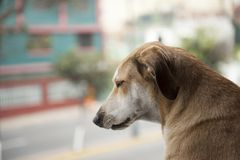 Dog waiting for the arrival of owners royalty free stock photography