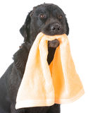 Dog waiting for bath Stock Images