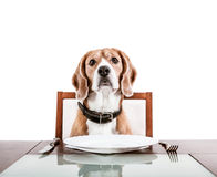 Dog waiting for a dinner on the served table Stock Photos