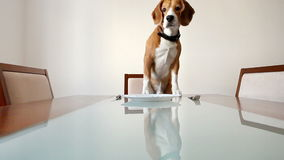 Dog waiting for a dinner on the served table stock video footage