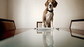 Dog waiting for a dinner to be served sitting at the table stock video