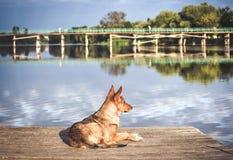 Dog waiting dock Stock Photography