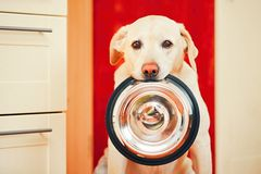 Dog is waiting for feeding. Royalty Free Stock Photos