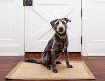 Dog Waiting By Front Door. Mixed breed dog sitting in front of a door in her home waiting for a walk or for her owner ot come home Stock Photos