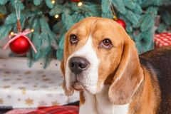 The dog waiting in front of New Year tree, close-up studio photo. Pretty beagle dog sits near a New Year tree with red decorations on Christmas eve, close-up Stock Photos
