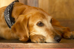 Dog waiting Royalty Free Stock Photo