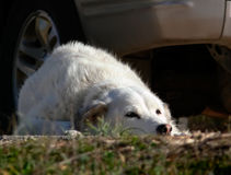 A dog waiting for his master. The dog owner waiting in the car Stock Image