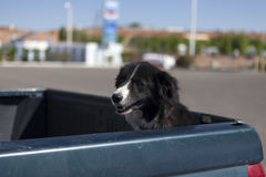 The dog is waiting for the owner in the back Stock Photos