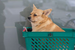 Dog waiting for the owner in a basket on a bicycle Royalty Free Stock Images