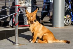 The dog is waiting for the owner at the store stock images