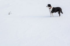 Dog waiting in snow Royalty Free Stock Photo
