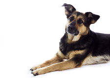 Dog waiting for something Stock Images