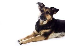 Dog waiting for something. Dog lying on the floor,  on white background. Dog waiting for something Stock Images