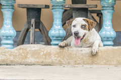 Dog waiting for something. Top view Dog with two different colored eyes Stock Image