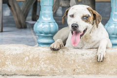 Dog waiting for something. Dog with two different colored eyes Stock Photo