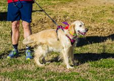 Dog Waiting for the Start of the Annual Roanoke Valley SPCA 5K Tail Chaser. Roanoke, VA – March 23rd: Large Brown dog waiting for the start of the stock images
