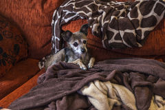 Dog waiting stretched out on the couch Stock Images