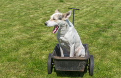 Dog waiting till master would drive this cool wheel barrow. Young mixed breed white male dog waiting till master would drive this cool wheel barrow Royalty Free Stock Photo