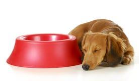 Dog waiting to be fed. Long haired miniature dachshund sleeping beside empty dog food dish on white background stock image