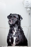Dog waiting to be rinsed Royalty Free Stock Images