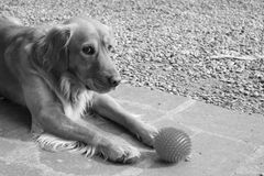 Dog waiting to play with a ball, black & white Stock Images