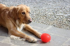 Dog waiting to play with a ball Royalty Free Stock Image