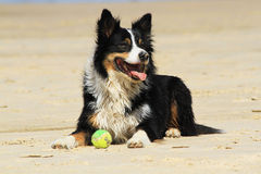 Dog waiting to play. Dog on the beach laying dog with a ball Royalty Free Stock Photo