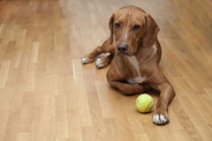 Dog waiting to play. In house Stock Image
