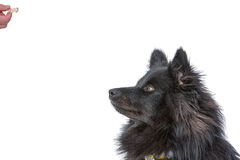 Dog waiting for a treat Royalty Free Stock Photography