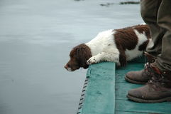 Dog waiting for trouts Royalty Free Stock Photography
