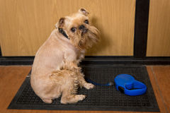 Dog  waiting for a walk Royalty Free Stock Photo