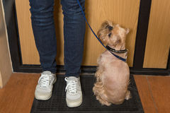 Dog  waiting for a walk. Dog breed Brussels Griffon waiting for a walk Stock Image