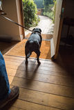 Dog waiting for a walk. A dog on a lead waiting at an open door to for for a walk Royalty Free Stock Photography