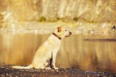 Dog in waiting Stock Image