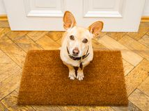 Dog waits at door for a walk. Poidenco dog waiting for owner to play and go for a walk on door mat ,behind home door entrance Stock Image