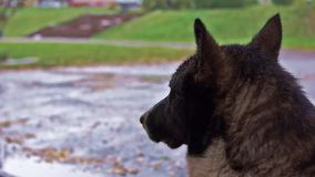 Dog waits the end of rain stock video footage