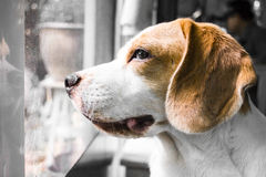 Dog waits his owner. Dog is sadly waiting for his owner Stock Image