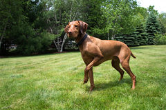 Dog waits for Master. Vizsla playing on the lawn.  Waiting for instruction Stock Images