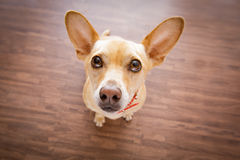 Dog    waits for owner Royalty Free Stock Images