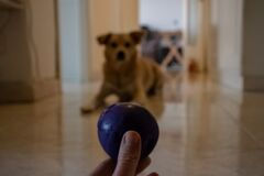 The dog waits for the throw of the ball, ready to run and jump as soon as the ball starts.