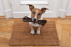 Dog waits for walking with leash Royalty Free Stock Photo