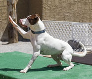 Dog waiving a high five Royalty Free Stock Photo