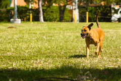 Dog walk. Happy dog walking in the park on a sunny summer day royalty free stock image