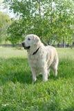 Dog on walk. Dogs, golden retrievers on a green lawn Stock Photos