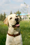 Dog on walk. Dog, white labrador on a green lawn Stock Images