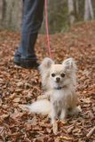 A dog walk in autumn Royalty Free Stock Photography