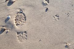 Dog walk on the beach. Sandy foot and paw print. Footprint evidence of dog walking left on the sand stock photography