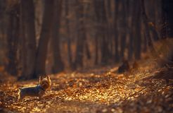 The Dog Walk in the Forest Stock Images